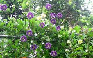 Кобе — вирощування з насіння, коли садити