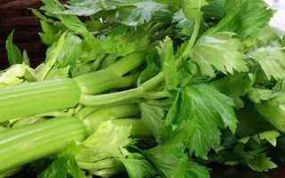 Вирощування з насіння листового селери — терміни посіву, відео