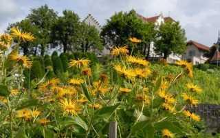 Дивосил — і сад прикрасить і здоров'я подарує. Опис, вирощування і догляд. фото