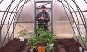 Як посадити помідори в теплицю з полікарбонату правильно