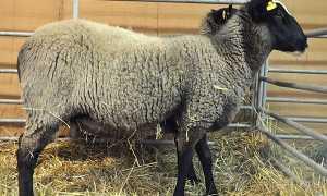 Романовська порода овець — характеристика, особливості утримання та розведення, шерсть, фото, відео