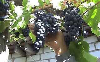 Фото хвороб винограду — сіра, біла, чорна гниль і боротьба з ними, відео