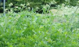 Любисток: вирощування і догляд. Корисні властивості і рецепти