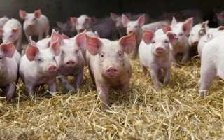 Годування поросят від 1 до 6 місяців — відгодівлю нна м'ясо в домашніх умовах, вітаміни для росту, яку траву можна давати, відео