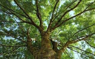 Лікувальні властивості ясеня — кора, листя, протипоказання, відео