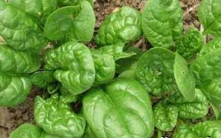 Шпинат рослина. Вирощування шпинату. Догляд за шпинатом