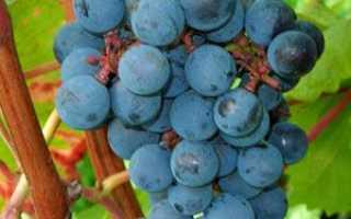 Фото виноградних шкідників, методи боротьби з кліщем, зуднем, осами + відео