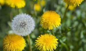 Кульбаба рослина. Опис, особливості, лікувальні властивості та застосування кульбаби