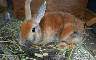 Розведення кроликів в домашніх умовах для початківців, вирощування та утримання в клітках, відео