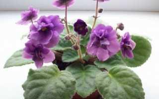 Сенполія. Опис і догляд за квіткою сенполія