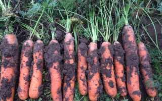 Коли викопувати моркву на зберігання в 2020 році за місячним календарем, як правильно зберігати
