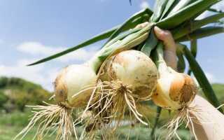 Вирощування цибулі-ріпки розсадою з насіння за сезон. Сорти, посів, догляд, висадка в грунт. фото