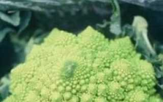 Капуста брокколі, вирощування і догляд. Сорти з фото. Користь. рецепти