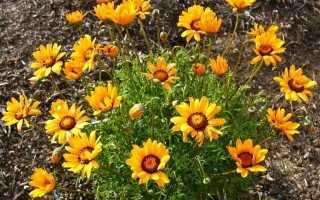 Урсіна — яскраві квітки стійких кліноусіков. Посадка і догляд. Вирощування з насіння. фото