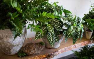 5 кімнатних рослин до найсуворіших візерунками на листках. Список назв з фото