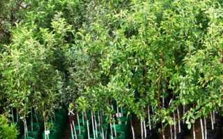 Плодові дерева — правила посадки дерев різних видів, вибір саджанців, відео