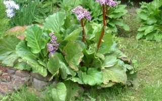 Бадан товстолистий: опис виду та особливості вирощування, відео