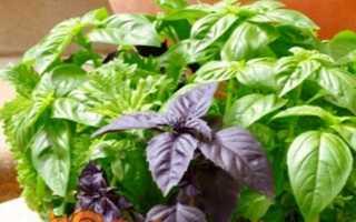 Базилік — вирощування з насіння на підвіконні, коли садити