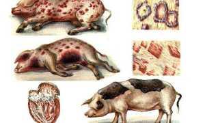 Рожа свиней — симптоми і лікування, чи можна їсти м'ясо після лікування пики, фото, відео