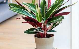 Строманта — вирощування, догляд в домашніх умовах, відео