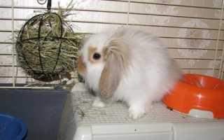 Як доглядати за декоративними кроликами, їх раціон, відео