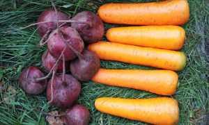 Коли прибирати морква і буряк з грядки, способи викопування та зберігання коренеплодів