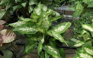 Диффенбахія — популярні різновиди для домашнього вирощування, відео