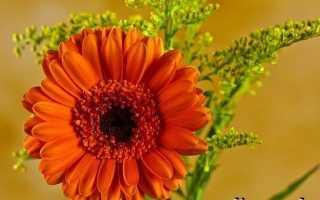 Гербери квіти. Вирощування гербер. Догляд за гербери