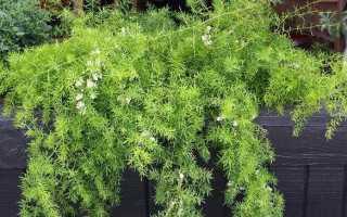 Аспарагус квітка. Вирощування аспарагуса. Догляд за аспарагусом