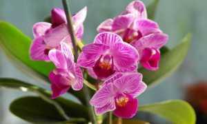 Чим підгодувати орхідею в домашніх умови, щоб цвіла і давала діток