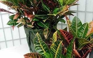 Кротон — розмноження живцями, листям, насінням в домашніх умовах, покрокова інструкція, фото, відео