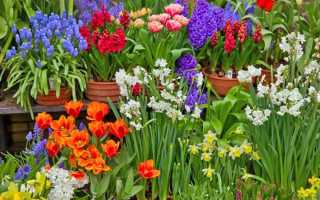Роботи з квітами в лютому — посадка вуличних квітів на розсаду, вигонка цибулинних до свят, відео