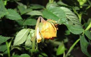 Чому у троянди сохнуть і обпадають бутони і листя, способи боротьби, відео