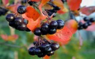 Горобина чорна — особливості вирощування, властивості ягід, відео