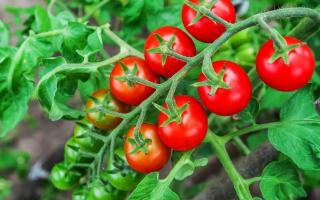 Кращі сорти томатів Черрі 2019: більше 25 сортів з описом кожного. |