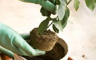 Як пересадити мандаринове дерево, в який грунт, відео