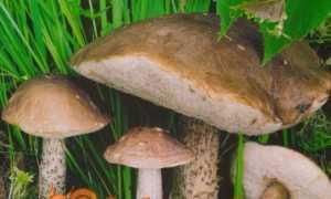 Підберезовик — опис гриба з фото і відео, як готувати. види