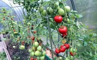 Кращі сорти індетермінантних (високорослих) томатів для теплиці, відкритого грунту, топ-35 сортів 2019 рік. |