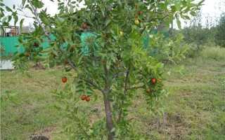 Зизифус мавританський: характеристика і особливості вирощування рослини, відео