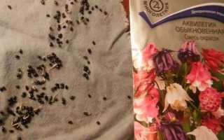 Посів насіння аквилегии на розсаду — вибір насіння і грунту, відео