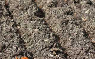 Буряк — вирощування і догляд у відкритому грунті, фото і відео, опис сортів, шкідники та хвороби
