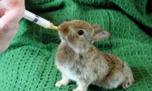 Як вигодувати кроленят без кролиці з перших днів життя, чим годувати в 20 днів, 1 місяць, відео