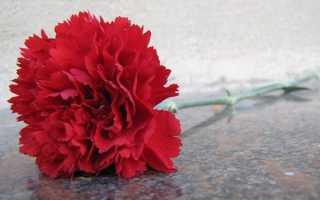 Гвоздика травянка — шабо, китайська, турецька, садові, польова, іглолістная, посадка і догляд, відео