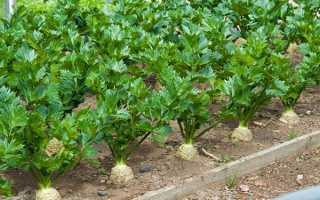 Селера — вирощування і догляд у відкритому грунті кореневого, черешкового і листового селери, відео