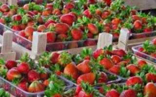 Застава прекрасного врожаю — своєчасна підгодівля полуниці навесні!