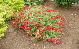 Як укрити на зиму почвопокривні троянди, способи, відео