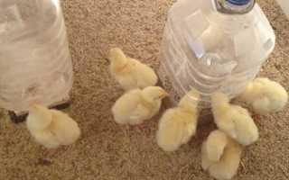 Курчата добові — зміст, вакцинація, годування, температурний режим, відео
