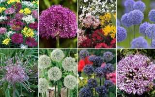 Види алліум — короткий опис рослин для саду, відео