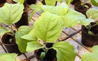 Коли садити баклажани на розсаду в 2019 році за місячним календарем. Вирощування розсади і догляд
