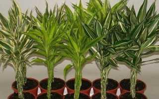 Бамбук рослина. Вирощування бамбука. Догляд за бамбуком